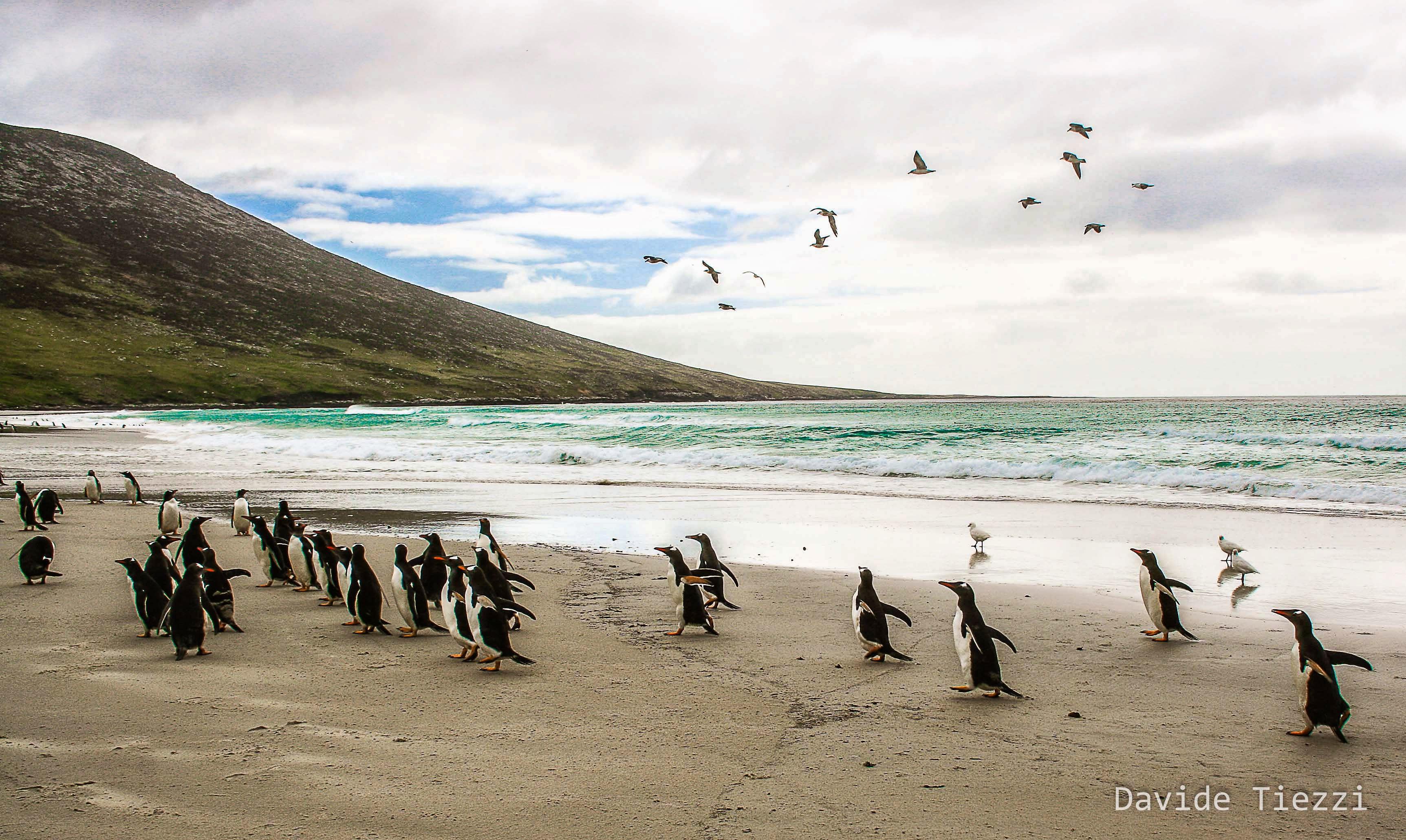 Pinguini alle isole falkland