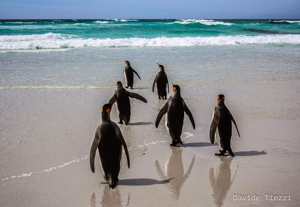 Pinguini isole falkland