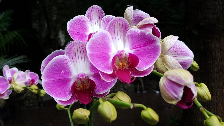 orchidea cascata d varone