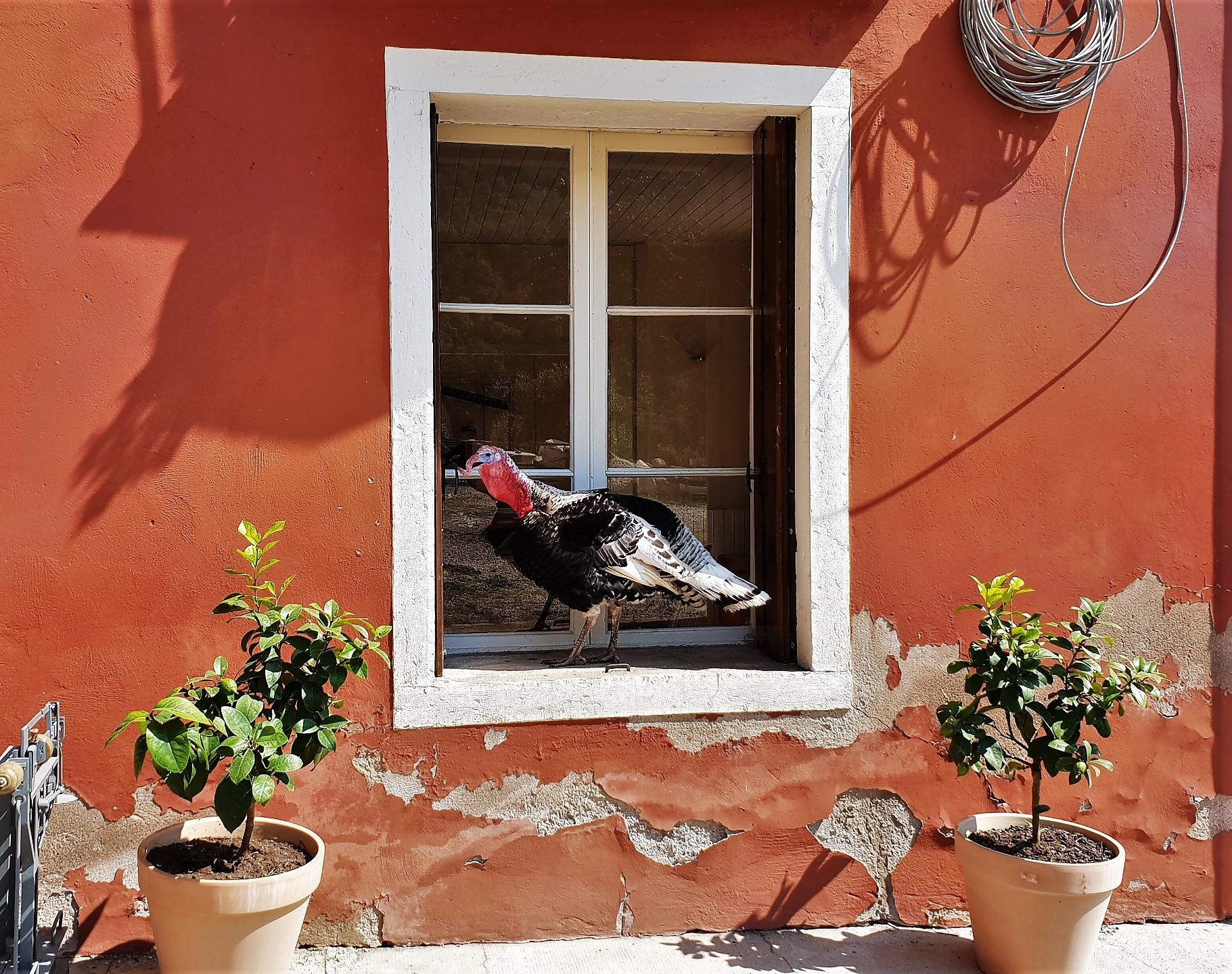 tacchino finestra