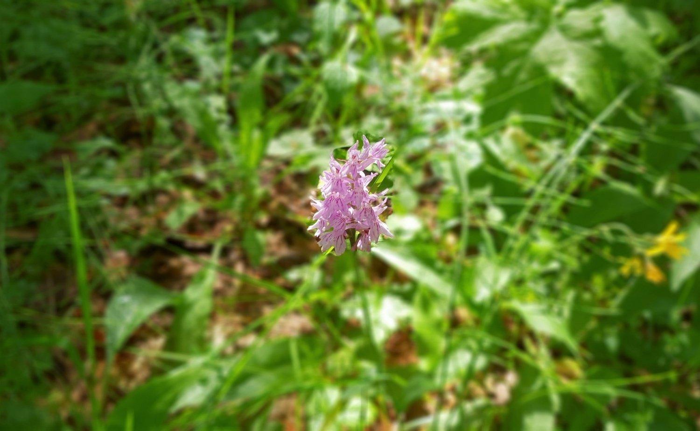 Orchidea di montagna