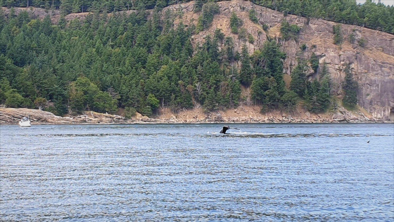 Coda balena saturna island